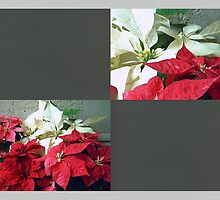 Mixed color Poinsettias 3 Blank Q6F0 by Christopher Johnson