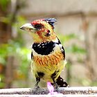 I'm Unmistakeable - Crested Barbet - South Africa by AndreaEL