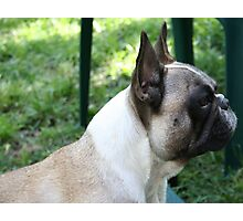 Profile of a Frenchie Photographic Print