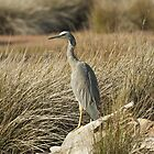 white faced heron by Barry Culling