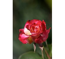 flower-red-white-rose Photographic Print