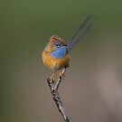 Southern Emu Wren by Heather Thorning