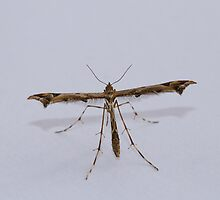 Plume Moth by Sue Robinson