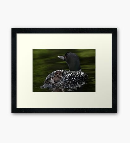 Loon and Chick - Little Sebago Lake, Maine Framed Print