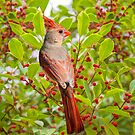 Red Bird Amidst Red Berries by Bonnie T.  Barry