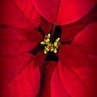 Poinsettia by alan shapiro