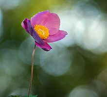 Tiny anemone flower by viktori-art