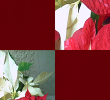 Mixed color Poinsettias 3 Merry Christmas Q10F1 Sticker