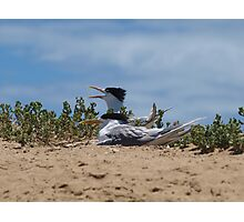 Crested Tern on Penguin Island Photographic Print