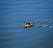 Little duck swimming by wd-photo