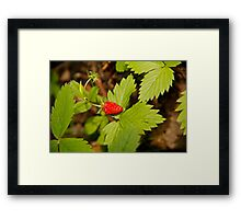 Wild Strawberry Framed Print