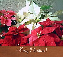 Mixed color Poinsettias 3 Merry Christmas S1F1 by Christopher Johnson