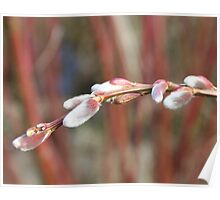 Spring pussy willows Poster