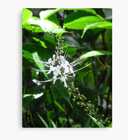 White Orchid - Garden of the Sleeping Giant, Fiji. Canvas Print
