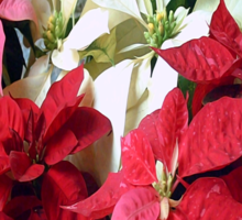 Mixed color Poinsettias 3 Merry Christmas S2F1 Sticker