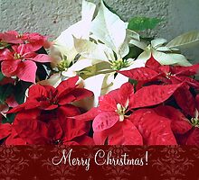 Mixed color Poinsettias 3 Merry Christmas S5F1 by Christopher Johnson