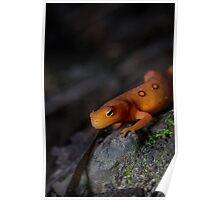Orange Friend, Red Eft (Notophthalmus viridescens) Poster