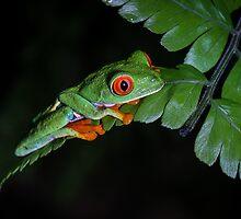 Red-eyed Treefrog on Fern (Agalychnis callidryas) by Dave Huth