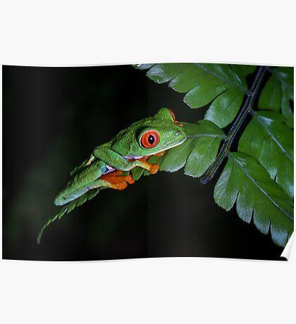 Red-eyed Treefrog on Fern (Agalychnis callidryas) Poster