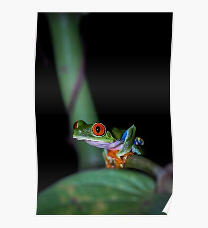 Red-eyed Treefrog Perched on Thin Branch (Agalychnis callidryas), Costa Rica Poster