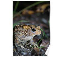 American Toad, in the rain, (Bufo americanus) Poster