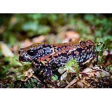 Oregon Slender Salamander (Batrachoseps wrightorum)  Photographic Print
