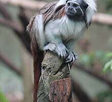 Cotton Top Tamarin by Leanne Allen