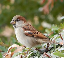 SPARROW (5) by Sandra  Aguirre