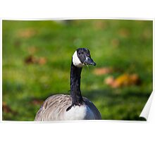 Canada goose eating grass Poster