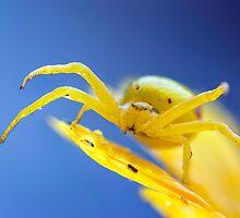Yellow crab spider after rain by viktori-art