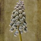 Muscari armeniacum with textures by John Edwards