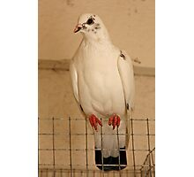 Pigeon Fly The Coop Photographic Print