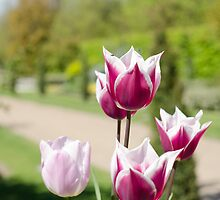 Summer tulips by RealWorldStu
