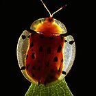 Spotted Tortoise Beetle by jimmy hoffman
