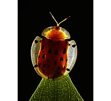 Spotted Tortoise Beetle Photographic Print