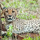 Cheetah Chillin' Out by J. Day