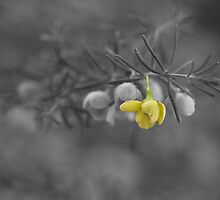 A Touch of Boronia by kalaryder