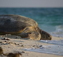 Green Sea Turtle - Heron Island by Mark Fitzpatrick