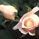 Pale roses by wsellers