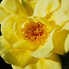 Bright Yellow Beauty by mussermd