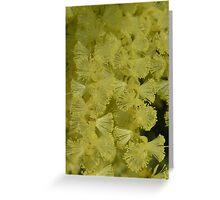 Acacia floribunda Greeting Card