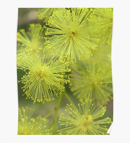 Wattle Blossom Poster