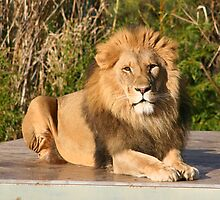 Lion by NationalZooAust