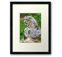 Zürich Zoo, Snow Leopard Villy Framed Print