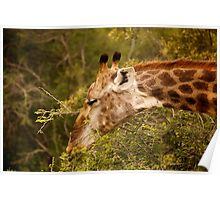 Kruger Parc - South Africa Poster