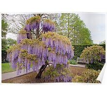Longwood's Wisteria Magic Poster