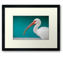 White Ibis (Eudocimus albus) Framed Print