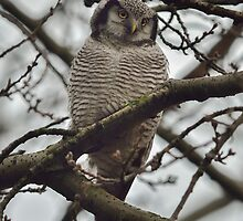 Northern Hawk-Owl - I by Peter Wiggerman