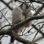 Northern Hawk-Owl - II by Peter Wiggerman