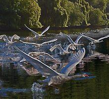Swan Stampede by kelvinLemur